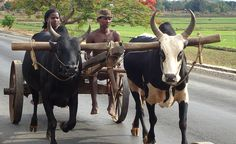 Zebu cattle cart by gailhampshire, via Flickr
