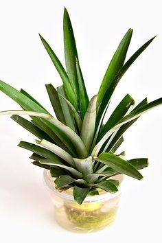 How to grow pineapple plants from pineapple tops.  An idea for gardening!