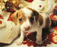 Red Piebald Dachshund Puppy - This is what Hoosier will look like when I take him home! Piebald Dachshund, Mini Dachshund, Dachshund Puppies, Weenie Dogs, Cute Puppies, Pet Dogs, Dogs And Puppies, Dog Cat, Daschund