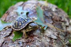 Aquatic turtles for sale online cheap, buy baby aquatic turtles, water turtle breeders near me live turtles for sale and baby freshwater turtle store. Small Turtles, Tiny Turtle, Baby Turtles, Slider Turtle, Tortoise Habitat, Baby Tortoise, Box Turtles For Sale, Turtle Setup, Freshwater Turtles