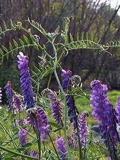 Hiirenvirna, Vicia cracca - Kukkakasvit - LuontoPortti