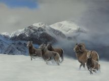 """""""Jasper Bighorn Sheep"""", 48""""x33"""""""