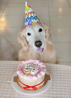 how much is a dog haircut a happy birthday golden golden retrievers dogs happy 5138 | 54542903047ed60817f4e9f5138ca678