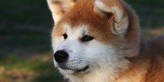 """Résultat de recherche d'images pour """"defauts chez un akita inu"""""""
