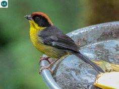 https://www.facebook.com/WonderBirds-171150349611448/?ref=hl Sẻ đồng ức vàng; Họ Sẻ đồng-Emberizidae; cao nguyên Andes, Nam Mỹ || Yellow-breasted brush finch (Atlapetes latinuchus) IUCN Red List of Threatened Species 3.1 : Least Concern (LC)(Loài ít quan tâm)