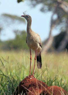Seriema de patas rojas (Cariama cristata). Es un avede la familia Cariamidae que mide entre 75 y 90 cm de alto y habitaen las praderas de Brasil desde el sur de la selva amazónica hasta Uruguay y el norte de Argentina.