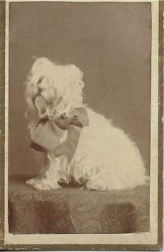 "1876-1881 albumen photo of little white dog with huge bow. Photo is quite small: 1.5"" x 2.5"". Photo by Goodwin's Studio, 59, 61, 63, 65 Arcade. Providence, R.I. From bendale collection"