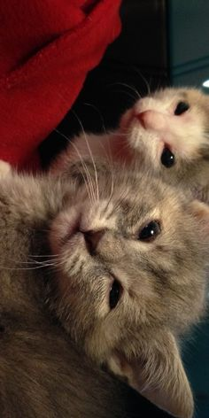 Kittens Born Without Eyelids to Get Novel Sight Saving Surgery | THE PUSSINGTON POST