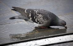 Article in French about city birds suffer from unhealthy diet because humans discard or feed them junk - Un pigeon de centre-ville (illustration) - pigeon in the city drinks from a shallow puddle on the pavement