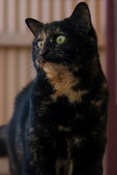 Domestic Shorthair Cat at www.coolcattreehouse.com