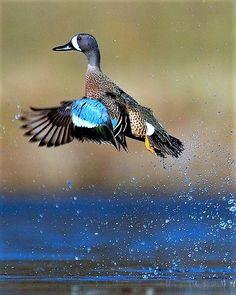 Pretty Birds, Beautiful Birds, Animals Beautiful, Waterfowl Hunting, Duck Hunting, Exotic Birds, Colorful Birds, Canard Mandarin, Teal Duck