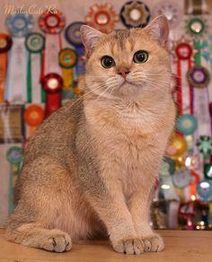 British shorthair chinchilla cat