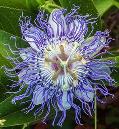 Pasiflora