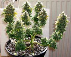 Marijuana Funny, Medical Marijuana, Cannabis, Weed Buds, Weed Plants, Growing Weed, Cash Money, Bonsai, Hemp