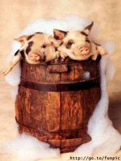 I want to get a minature pig so bad! I found a site where they are only $600!!