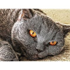 #Bombay our 7.5 ye old Argentinian #britishshorthair #blue #cat #catsofinstagram #catstagram #catlove #catoftheday #catlife #catlifestyle #catlovers #august2016 #mexico #cdmx #motivation #happyhappyhappy #love #beautiful #gato #gat #gatti #kitten #kat #chat
