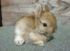 Still ill tho Netherlands dwarf rabbit Cute Baby Bunnies, Funny Bunnies, Cute Babies, Cutest Bunnies, Tiny Bunny, Animals And Pets, Funny Animals, Dwarf Bunnies, Bunny Rabbits