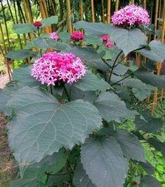 Clerodendrum bungei (Bild links) macht regelmäßige neuen gerade Triebe, auch ziemlich weit von die Mutterpflanze. Im August und September gibt es die Rosa rote Blüten. Die großen, herzförmigen Blätter haben ein tropisches Aussehen und riechen wie Erdnussbutter. Die 1 bis 2 Meter hohen Strauch kann - 15 ° C Frost überleben aber, wenn das Holz zurückfriert, kommt die Pflanze aus die Wurzeln wieder zurück und können wieder im selben Jahr Blüten machen. Gedeiht am besten an einem sonnigen bis…