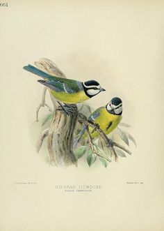 Hierran Titmouse A history of the birds of Europe : London :Published by the Author,1871-1881