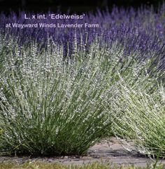 Did you know lavender can be white? Edelweiss is a beautiful white Intermedia lavender variety, which makes a perfect accent amidst our purple varieties! Flower Boarders, Lavender Varieties, Spanish Lavender, Willamette Valley, Lavender Fields, Wine Country, Pretty Flowers, Did You Know, Acre