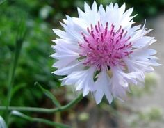 Bachelor Button-Cornflower (Centaurea Cyanus Dwarf Tom Pouce) - White- 200 seeds for sale online Daffodils, Tulips, Bachelor Buttons, Full Sun Plants, Seeds For Sale, Home Garden Plants, Planting Seeds, Growing Plants, Dream Garden