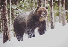 The Boss is up. He ventured out of his cozy winter resting spot to welcome in an early spring. This badass grizzly is one of the many glorious and powerful neighbours we share our wild space with.  But not to worry he won't be joining us for any yoga   #mybanff #banffnationalpark #bear122 #theboss #badass #grizzly #bears #wesharethisspacewithothers #banffyogafestival #grrrrr #yoga #animals #meetyourneighbour #knowyourneighbour #neighbour  Photo credit: Rocky Mountain Outlook by…