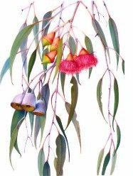 Eucalyptus caesia Australian Wildflowers, Australian Native Flowers, Botanical Drawings, Botanical Prints, Plant Art, Foliage Plants, Watercolor Flowers, Watercolour, Flower Art