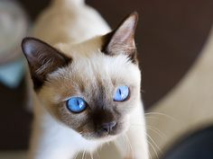 Tonkinese kitten. look at the eyes want one but with 4 already no chance.