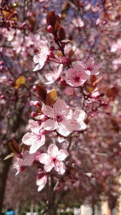Primavera en Badajoz, reventón primaveral Spring, Flowers