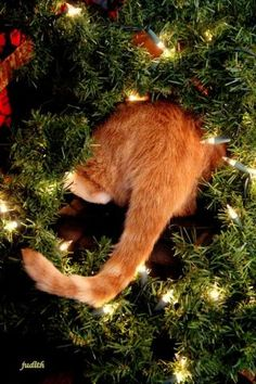 PetsLady's Pick: Funny Christmas Light-Checking Cat Of The Day...see more at PetsLady.com -The FUN site for Animal Lovers -- lol...