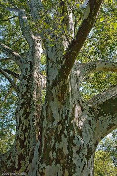 London Plane trees have mottled bark albeit in muted splotches of cream, gray, brow, and verdigris