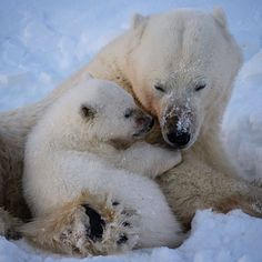 Happy Mother's day in Sweden! A female polar bear and her cub nuzzles in the snow on Svalbard. My love and respect to my own mother Ingegärd, to Monika, @monikaklum the mother of our two lovely children and all other mothers in our incredible world! ❤️#mothersday #love #respect #polarbear #svalbard #conservation #mattiasklum #passion @natgeo @thephotosociety @natgeocreative @mattiasklumcollection