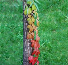 Virginia creeper #autumn // rainbow-color-change-nature-124__700