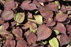http://faaxaal.forumgratuit.ca/t1511-photos-de-plantes-shiso-perilla-frutescens-beefsteak-plant