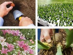 Care of Summer-Blooming Bulbs - This Old House Summer Flowering Bulbs, Shasta Daisies, Compost Tea, Mother Plant, Peat Moss, Replant, Organic Matter, Planting Bulbs, Types Of Soil