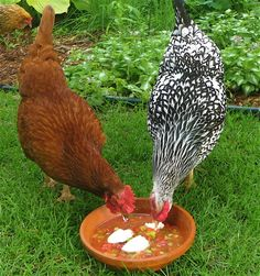 Keeping Chickens Cool: Gazpacho
