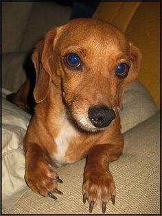 My daschund mix dog, Jed.