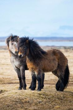 Icelandic horses sure are fluffy as can be.
