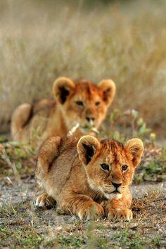 Lion cubs on the hunt