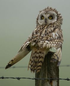 Short Eared Owl: What do you mean 'there's something wrong with my hair'? :-)