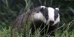 En Angleterre, les blaireaux sont accusés de transmettre la tuberculose bovine.
