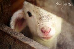 A peeking lamb...❤️