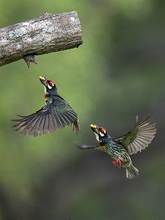 Coppersmith Barbets