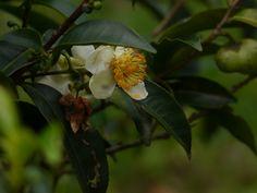 How to Grow Tea in Your Garden Growing Tea, Indoor Garden, Home And Garden, Different Types Of Tea, Tea Plant, Buy Tea, Plant Growth, Plant Sale, New Leaf