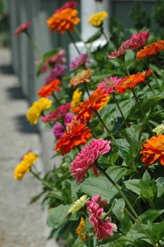 """Zinnias are some of the most fabulous flowers! One of my favorite garden flowers! And they are """"annuals"""", but they tend to re-seed from year to year. Orquideas Cymbidium, Annual Flowers, My Secret Garden, Flower Beds, Lawn And Garden, Sun Garden, Dream Garden, Garden Inspiration, Beautiful Gardens"""