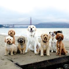 """The Doodle Mafia"" - Mr. Oscar, Scout, Charlie, Henry, Lefty (aka The Boss), August & Max, Daisy dog, Mini Labradoodle, Havanese, Lab, Mini Goldendoodle, mix & Cockapoo"