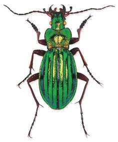 Chrysocarabus auronitens  Location: Europe  Size:2 cm