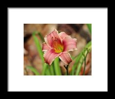 Flower Framed Print featuring the photograph Lily Flower by Cynthia Guinn
