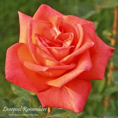 'Liverpool Remembers' Rose