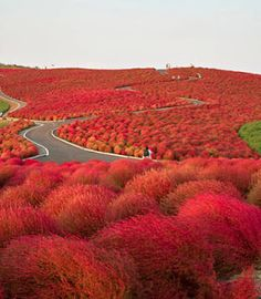 Kochia Hill - Hitachi Seaside Park Japan